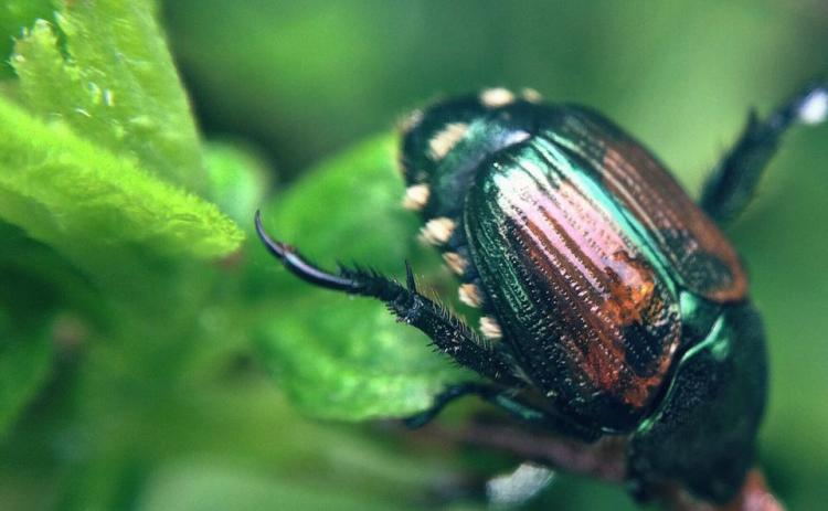 Japanese beetles now are present in some 48 states.